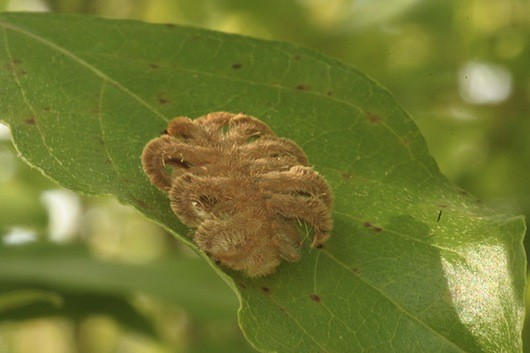 Hag-moth-caterpillar