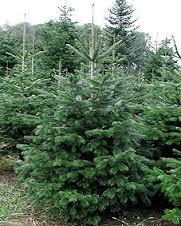 Nordmanntanne, Weihnachten, Fakten