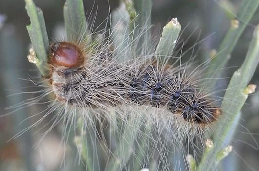 Pine-processionary-caterpillar
