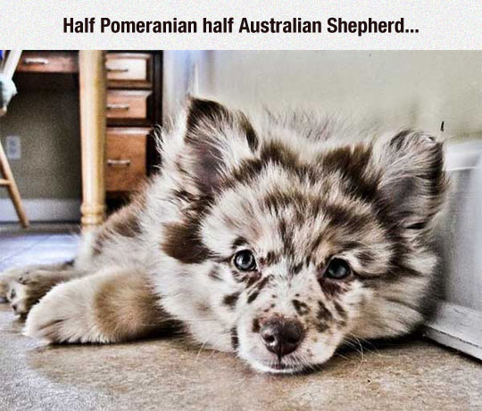 Kleinspitz & australischer Shepherd- Mischling
