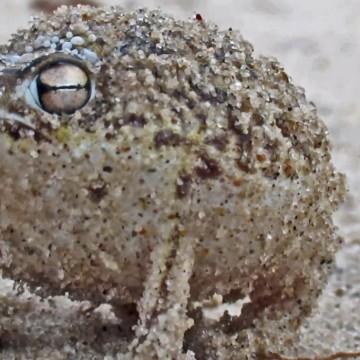 kurzkopffrosch