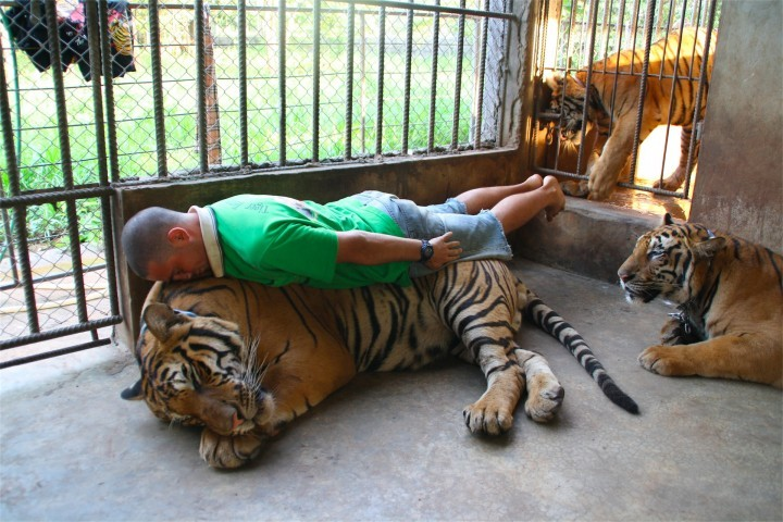 Planking-Level TIger